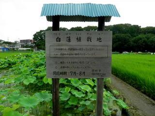 7-1白蓮 (7).jpg